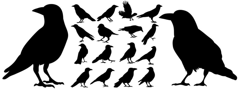 Vector, isolated black silhouette bird, crow collection
