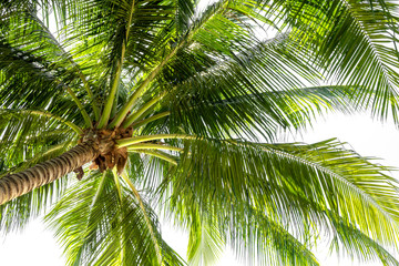 Coconut palm tree on white background.