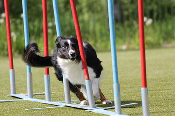 Dog Border Collie on the route of agility trials