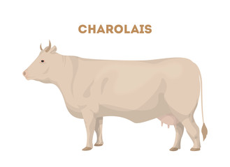Isolated charolais cattle.