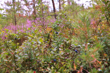 Wild berries on a green vegetative background in forest. Blueberries, lingonberries and heather in a pine forest. Landscape of late summer or early autumn.