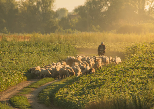 The shepherd leads a herd of sheep