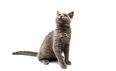 British gray kitten isolated