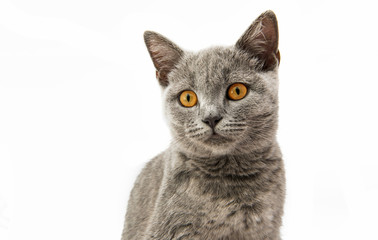 British gray kitten isolated