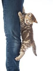 Frightened kitten cat hanging on jeans