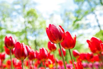 Obraz Niesamowity widok kolorowych tulipanów w ogrodzie - fototapety do salonu