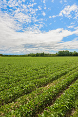 Field of soybean. Agricultural landscape.