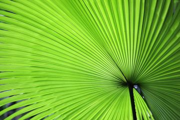 Wall Mural - fresh palm leaf texture background