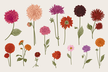 Dahlias set. Botanical vector vintage illustration. Design elements. Colorful.