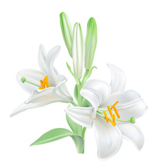 Madonna Lily - Lilium candidum. 