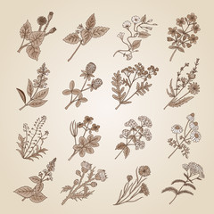 Vector illustration in vintage style. Collection of hand drawn medicinal, botanical and healing beauty herbs from garden. Sepia tone