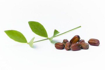 Jojoba (Simmondsia chinensis) leaves and seeds