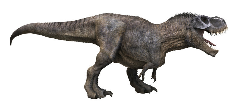 3D rendering of Tyrannosaurus Rex looking for food, isolated on a white background.