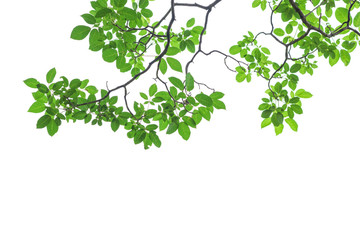 Green tree leaves and branches isolated on white background Fotoväggar