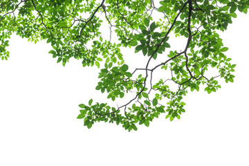 Wall Mural - Green tree leaves and branches isolated on white background