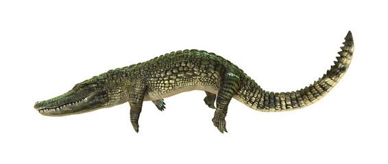 3D Rendering American Alligator on White
