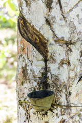 Marks on rubber tree trunk for latex extraction, Itacare, South Bahia state, Brazil