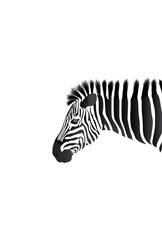 African Zebra isolated on white. Head of Zebra on white background.