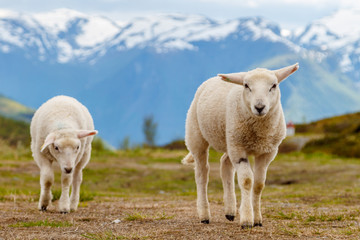 Lambs graze on the background of mountains