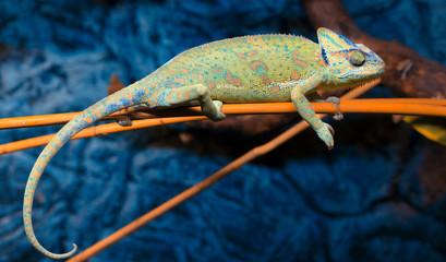 Fototapeten Chamaleon Kameleon Jemeński