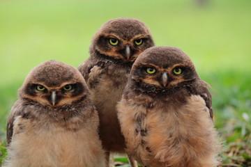 Babies owl
