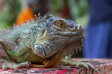 Close up portrait of Green iguana. Beauty in nature