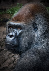 Silverback Gorilla portrait in Loro Park, Tenerife, Canary Islands, Spain.