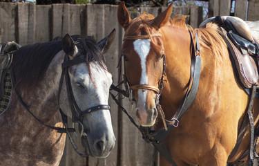 Gray and brown horses closeup photo