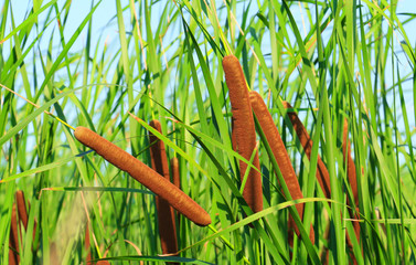 Cattails and Reeds