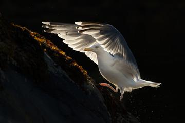 European Herring gull ready for takeoff