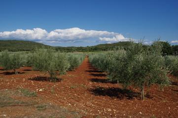 Olivenbäume in Kroatien