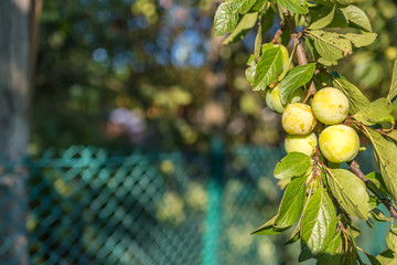 The branch of variety yellow plum, has a strong flavor and a pleasant taste, summer, Ukraine