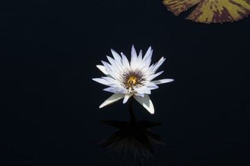 White Water Lilly Flower in Bloom