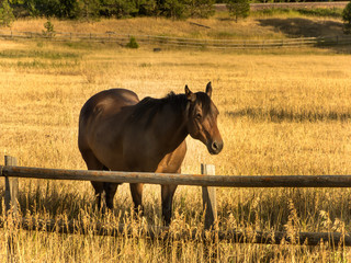 A male horse takes a break from eating to find a new spot.