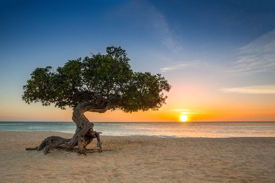 Divi Divi tree on Eagle Beach. The famous Divi Divi tree is Aruba's natural compass, always pointing in a southwesterly direction due to the trade winds that blow across the island