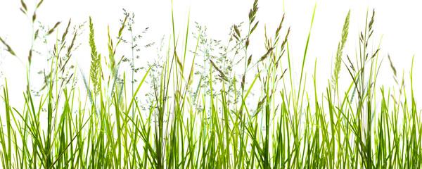 gräser, grashalme, wiese vor weißem hintergrund