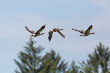 three flying gray geese (anser anser) with tree and blue sky