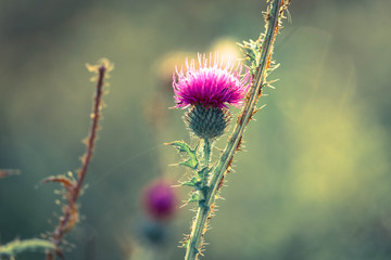 A pink milk thistle flower in the early morning light