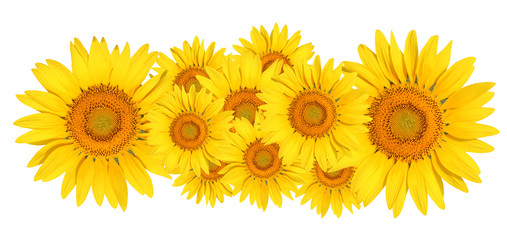 sunflower on white background 6