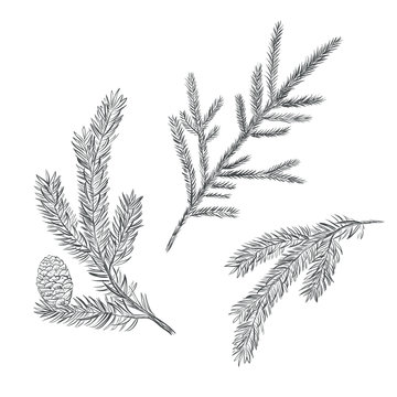 Spruce branch set. Collection of fir-tree vector illustration. Pine sketch