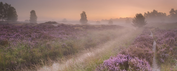 Wall Mural - Path through blooming heather at sunrise