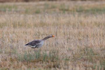 one gray goose (anser anser) standing in reed grassland