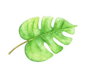 Green monstera leaf. Tropical plant. Hand painted watercolor illustration isolated on white background.