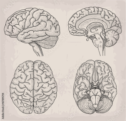 Anatomical Brain human illustration. Medicine, Vector illustration ...