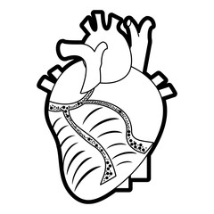 Flat line uncolored anatomical heart over white background vector illustration