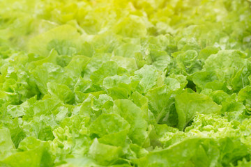 field of Chinese cabbage