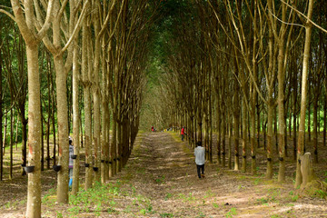 Rubber trees with nature