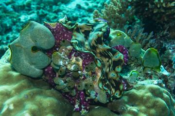 Riesenmuschel am Korallenriff