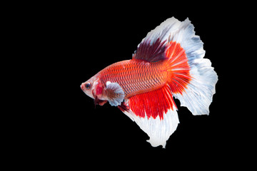 White and Red tail fighting fish on black background
