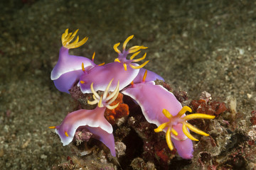 Group of Nudibranchs (Hypselodoris / Chromodoris Bullocki) mating and laying eggs. Lembeh Strait, North Sulawesi, Indonesia.